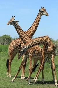 giraffe-1424819 960 720