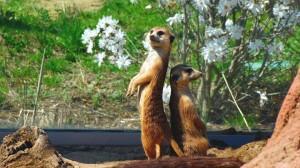 meerkat-729400 960 720