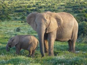 african-elephants-613028 960 720