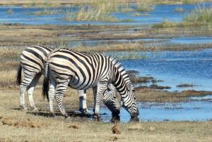 zebra-718278 960 720